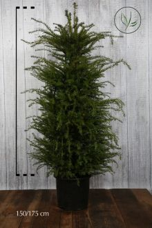 Taxus baccata Pot 150-175 cm Extra kwaliteit