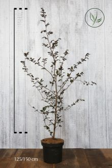 Rode beuk Pot 125-150 cm Extra kwaliteit