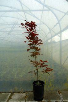 Rode beuk Pot 100-125 cm Extra kwaliteit