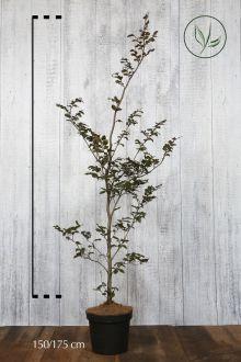 Rode beuk Pot 150-175 cm Extra kwaliteit