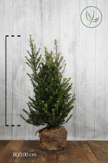 Japanse hulst  'Dark Green' ® Kluit 80-100 cm