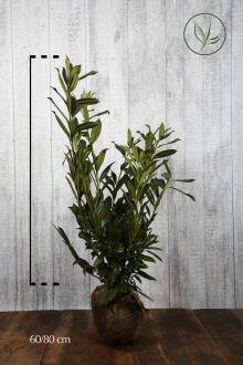 Laurier 'Herbergii'  Kluit 60-80 cm