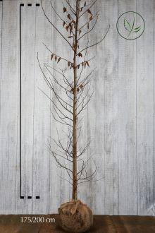 Haagbeuk Kluit 175-200 cm Extra kwaliteit