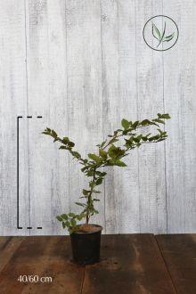Haagbeuk Pot 40-60 cm