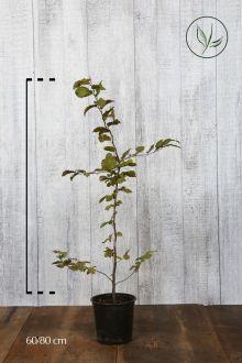 Haagbeuk Pot 60-80 cm