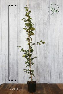 Haagbeuk Pot 125-150 cm