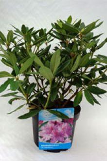 Rhododendron 'Catawbiense Grandiflorum'   Pot 40-50 cm Extra kwaliteit