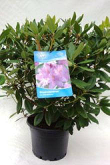 Rhododendron 'Catawbiense Grandiflorum'   Pot 60-70 cm Extra kwaliteit