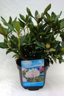Rhododendron 'Cunninghams White'  Pot 40-50 cm Extra kwaliteit