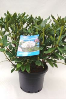 Rhododendron 'Cunninghams White'  Pot 60-70 cm Extra kwaliteit