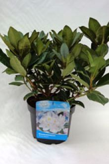 Rhododendron 'Gomer Waterer'  Pot 40-50 cm Extra kwaliteit