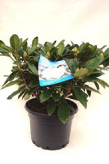 Rhododendron 'Gomer Waterer'  Pot 60-70 cm Extra kwaliteit