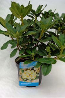 Rhododendron 'Horizon Monarch'  Pot 40-50 cm Extra kwaliteit
