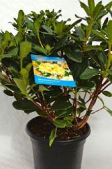 Rhododendron 'Horizon Monarch'  Pot 60-70 cm Extra kwaliteit
