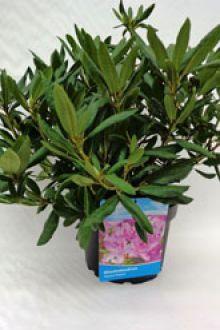 Rhododendron 'Roseum Elegans' Pot 40-50 cm Extra kwaliteit