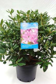 Rhododendron 'Roseum Elegans' Pot 60-70 cm Extra kwaliteit