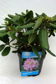 Rhododendron 'Scintillation'    Pot 40-50 cm Extra kwaliteit