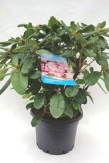 Rhododendron 'Scintillation'    Pot 60-70 cm Extra kwaliteit
