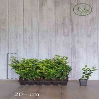 Portugese laurierkers 'Brenelia' Pot P9 tray