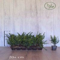 Taxus Baccata Pot P9 tray