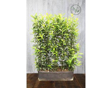 Laurier 'Genolia'® Kant-en-klaar Hagen 160-170 cm Kant-en-klaar Hagen