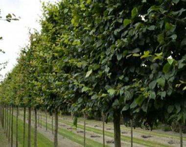 Carpinus betulus leiboom