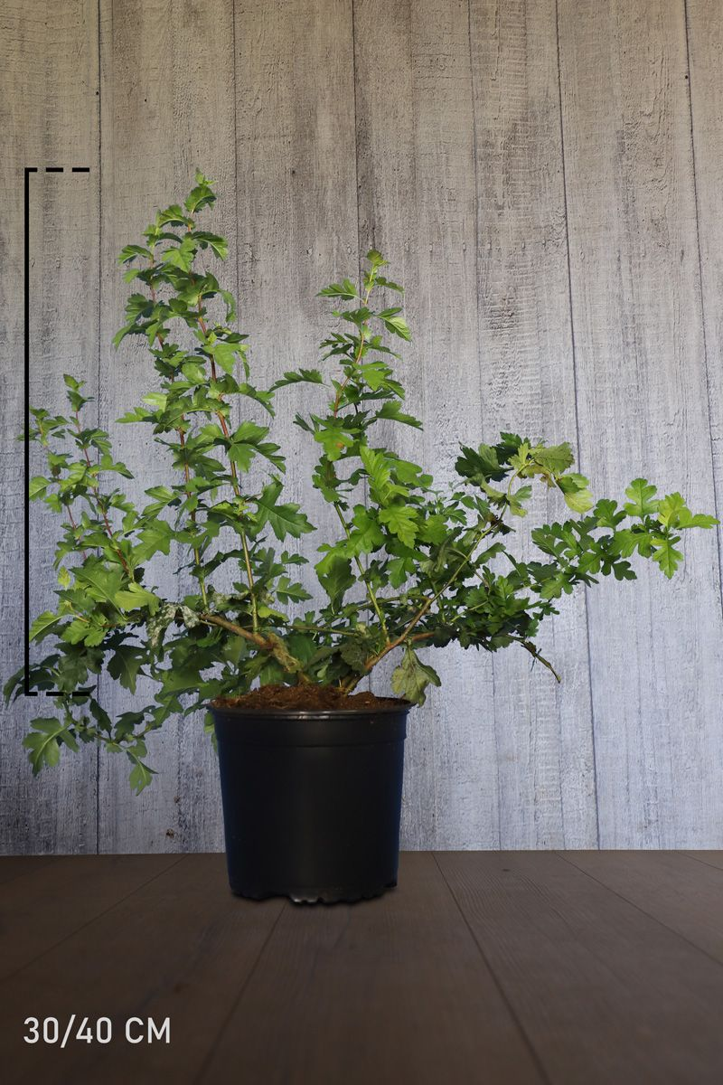 Meidoornhaag Pot 40-60 cm