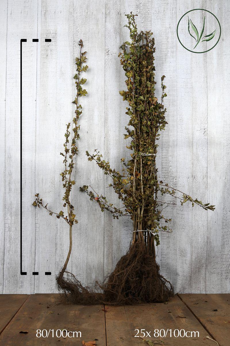 Meidoornhaag Blote wortel 80-100 cm