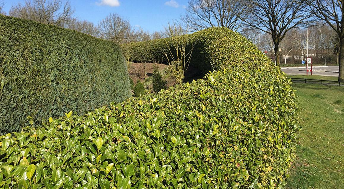 Om wat voor soort haagplant vraagt een kleine tuin?
