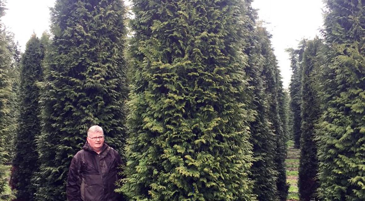Belangrijke tips voor het snoeien van coniferen