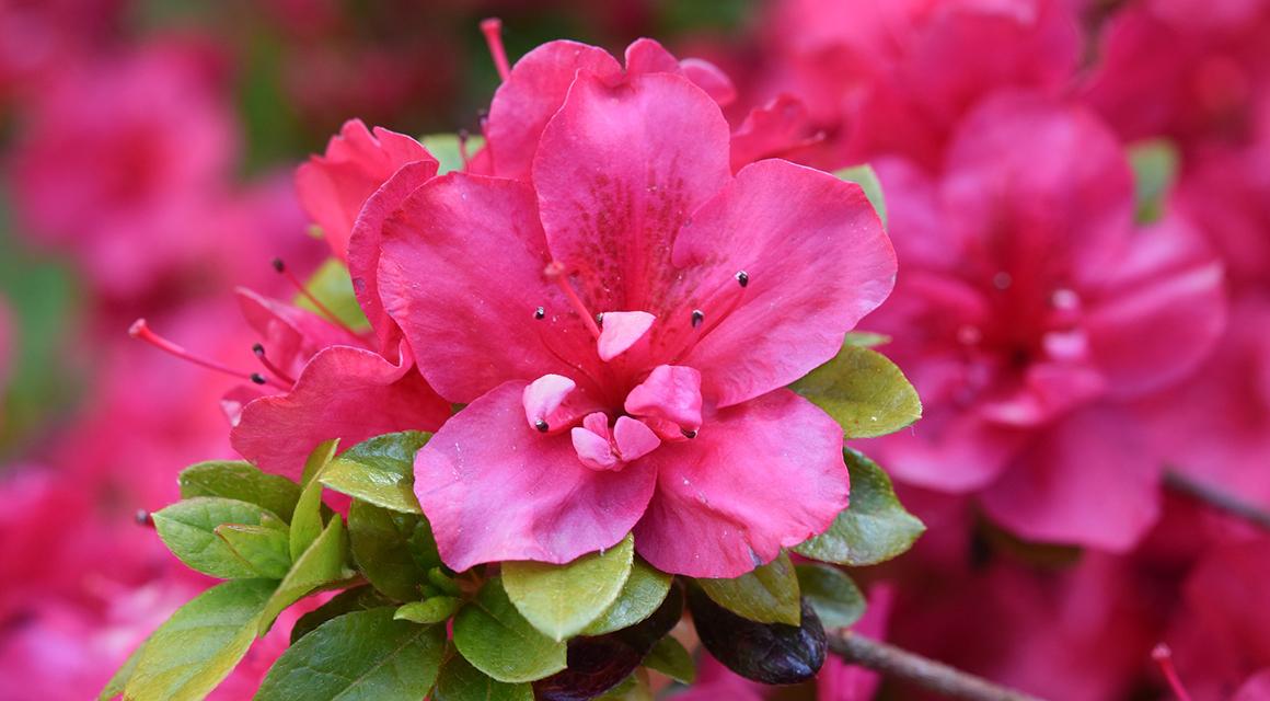 Bloemen rhododendron