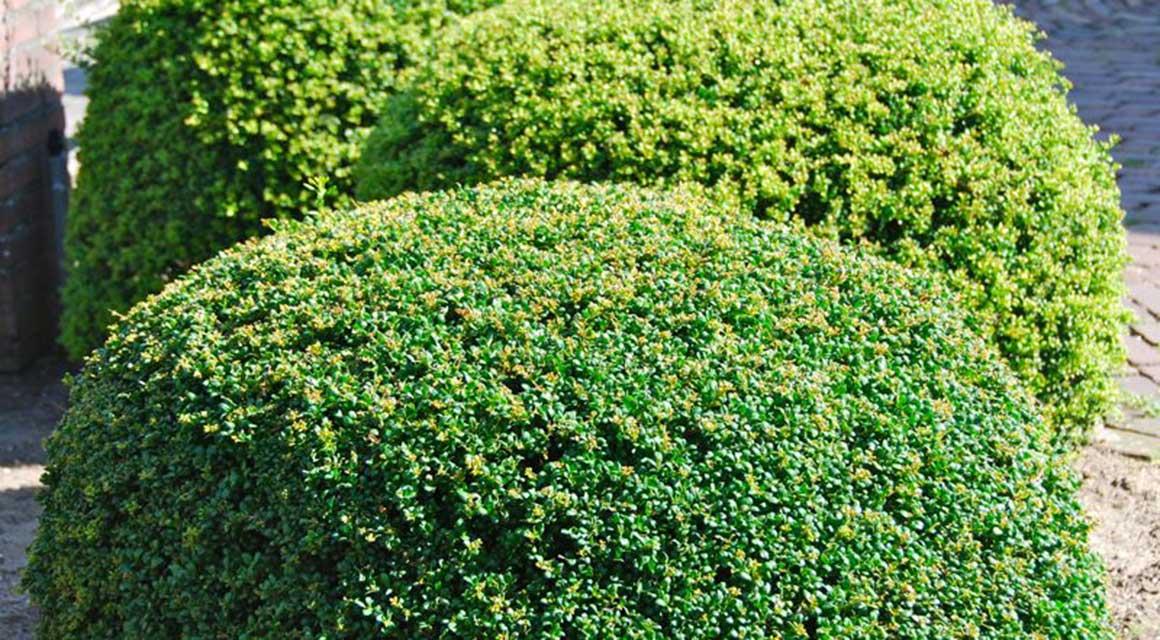 Alternatieven voor giftige haagplanten Japanse hulst