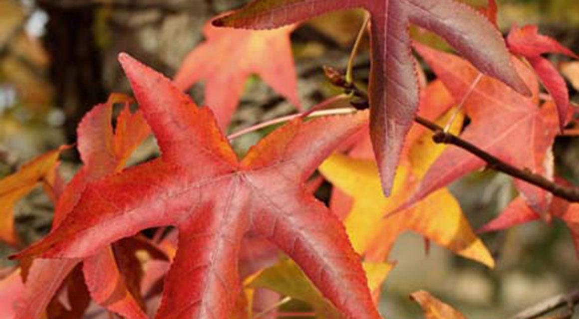 De amberboom: een bonte verschijning in de herfst