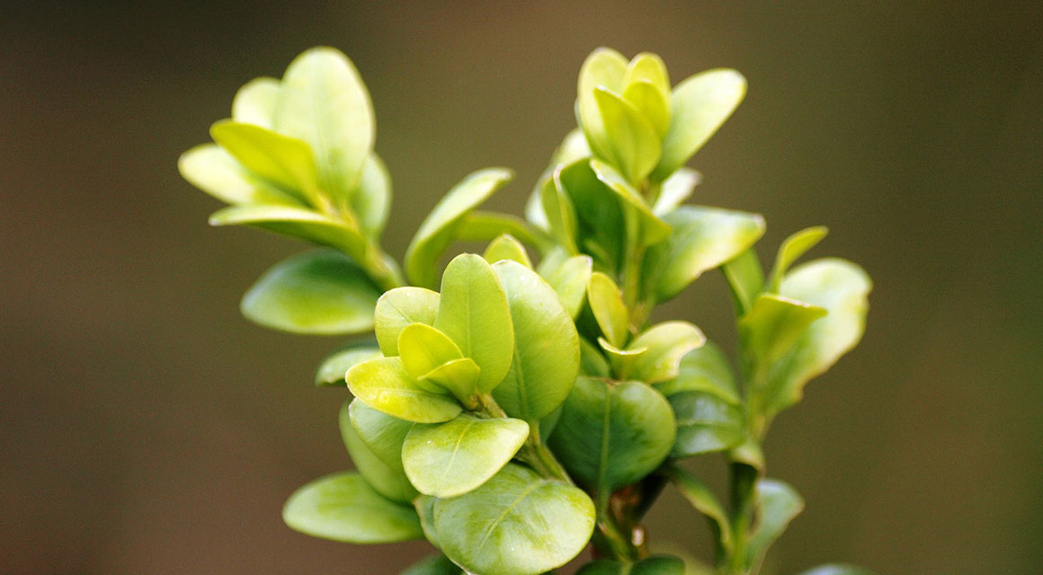 Andere giftige Heckenpflanzen