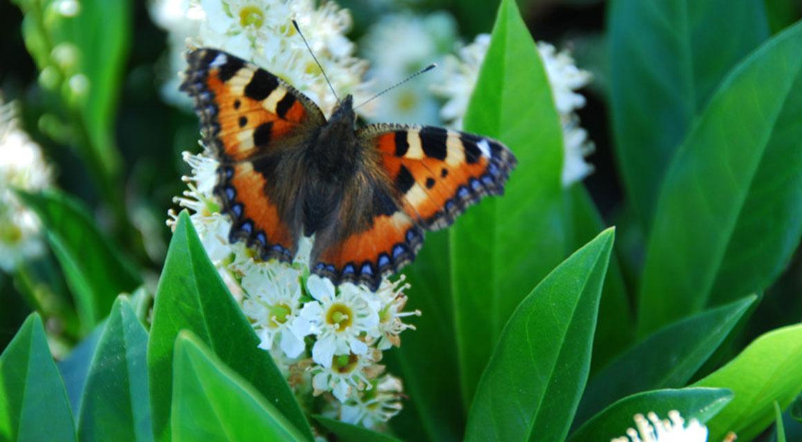 De laurierkers is vriendelijk voor vogels, bijen en insecten