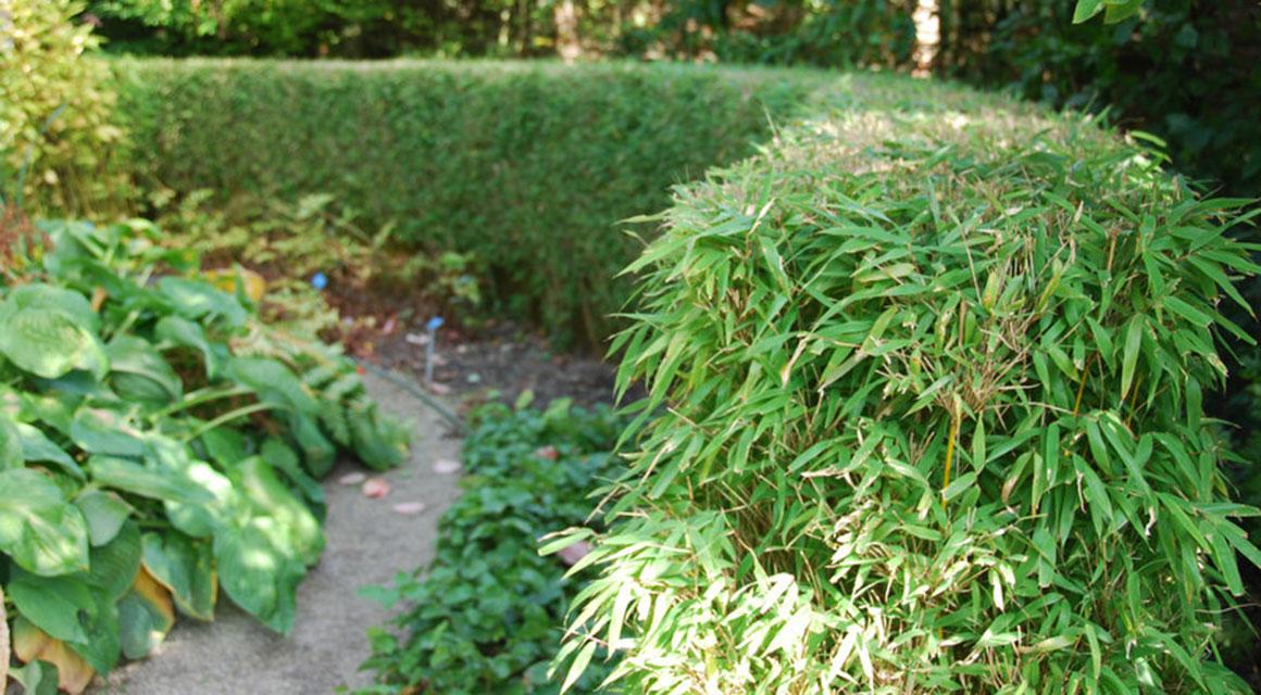 Bamboe (Fargesia)
