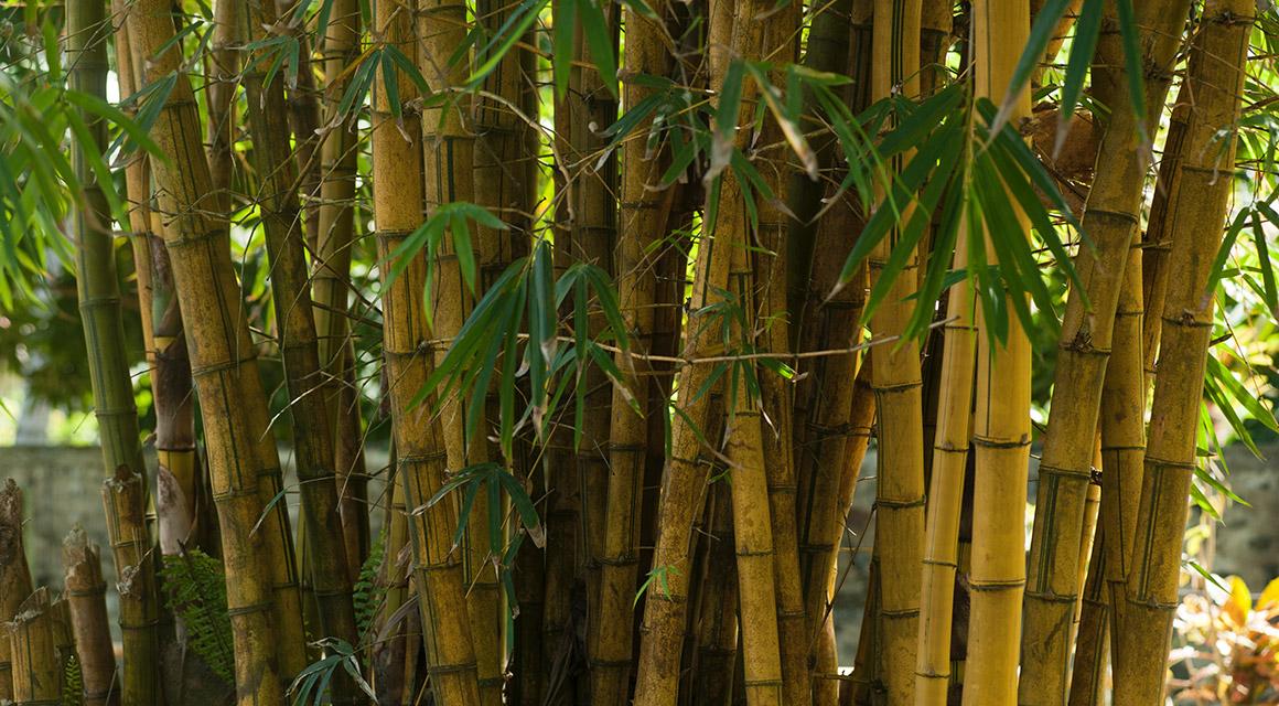 Bamboe heeft een lange levensduur