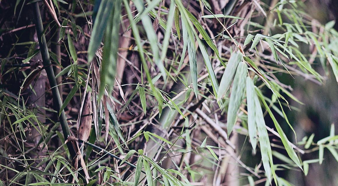 Onze bamboe woekert niet - haagplanten.net