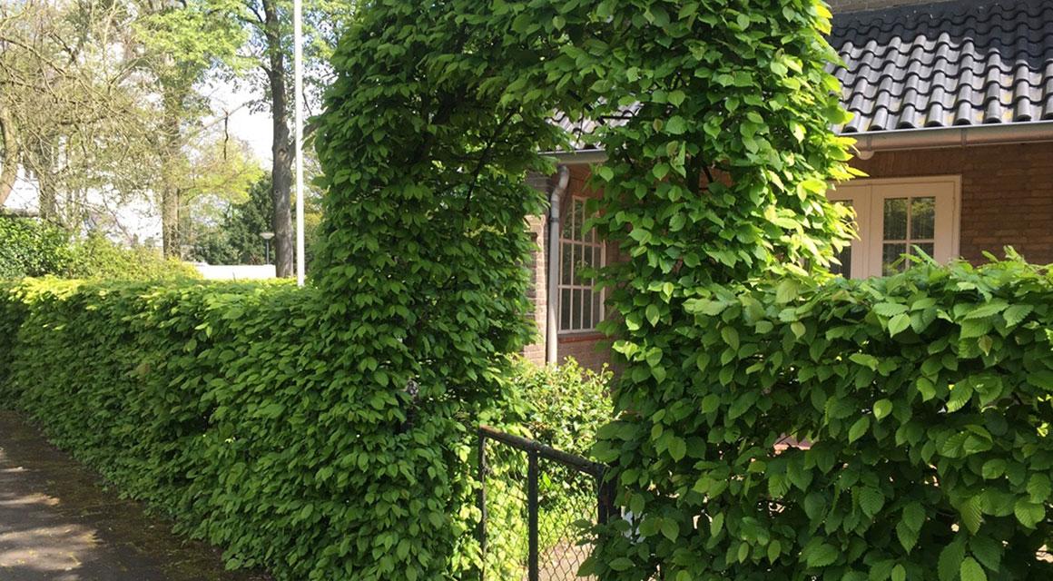 Bladverliezende haagplanten: de beukenhaag en de haagbeuk