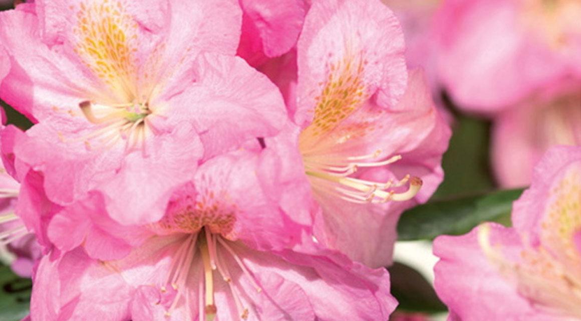 Bloeiend: de rhododendron