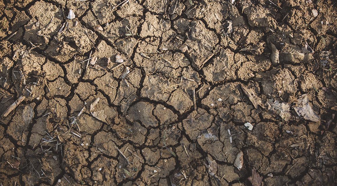 Bruine coniferen door aanhoudende droogte