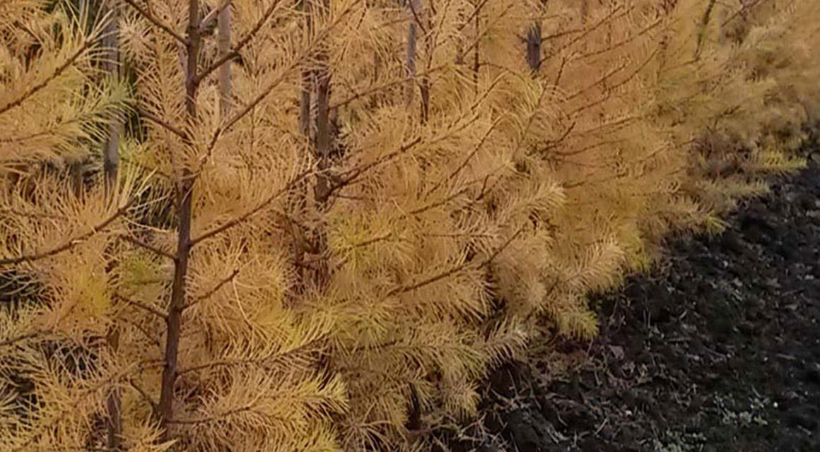 Bruine, kale plekken door snoeischade