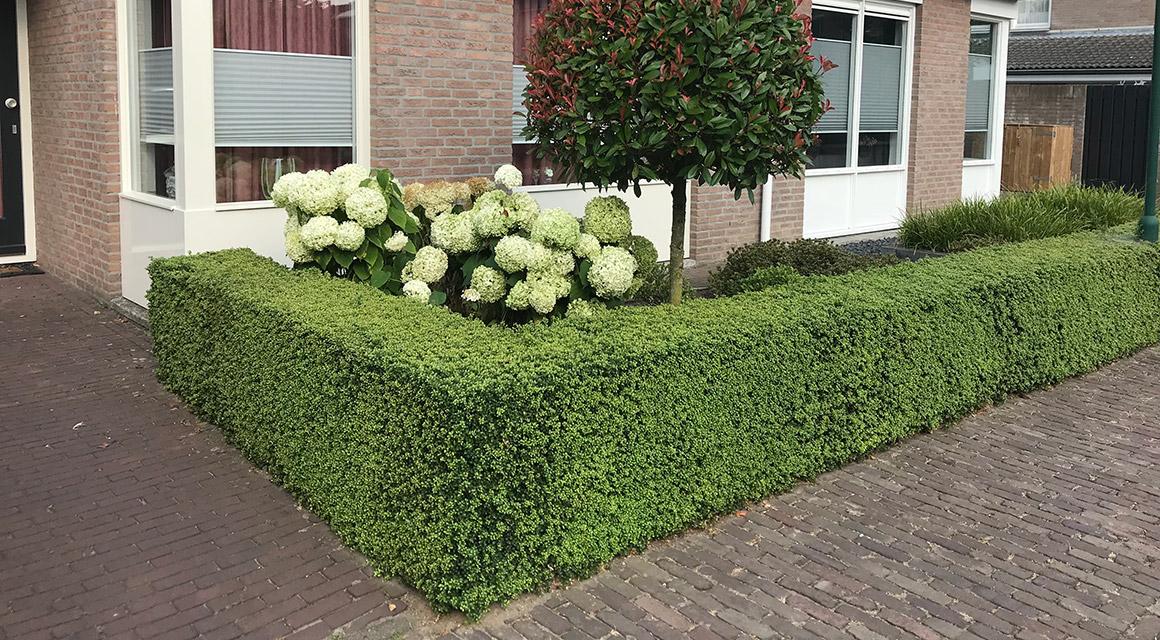 Buchsbaum-Alternativen pflanzen