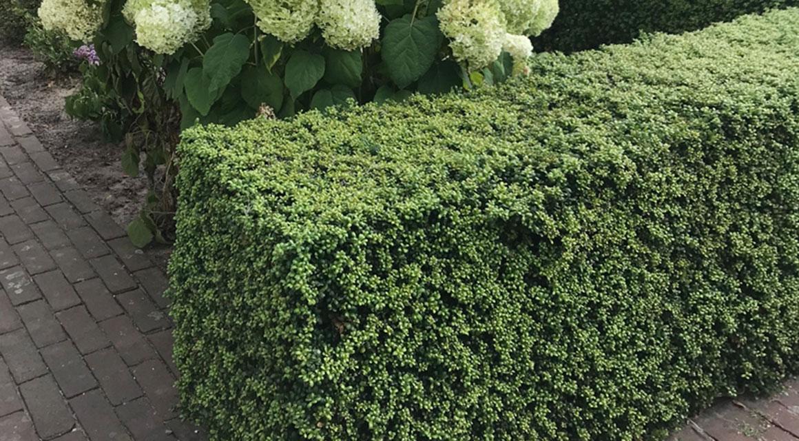 Buxusvervangers in uw tuin