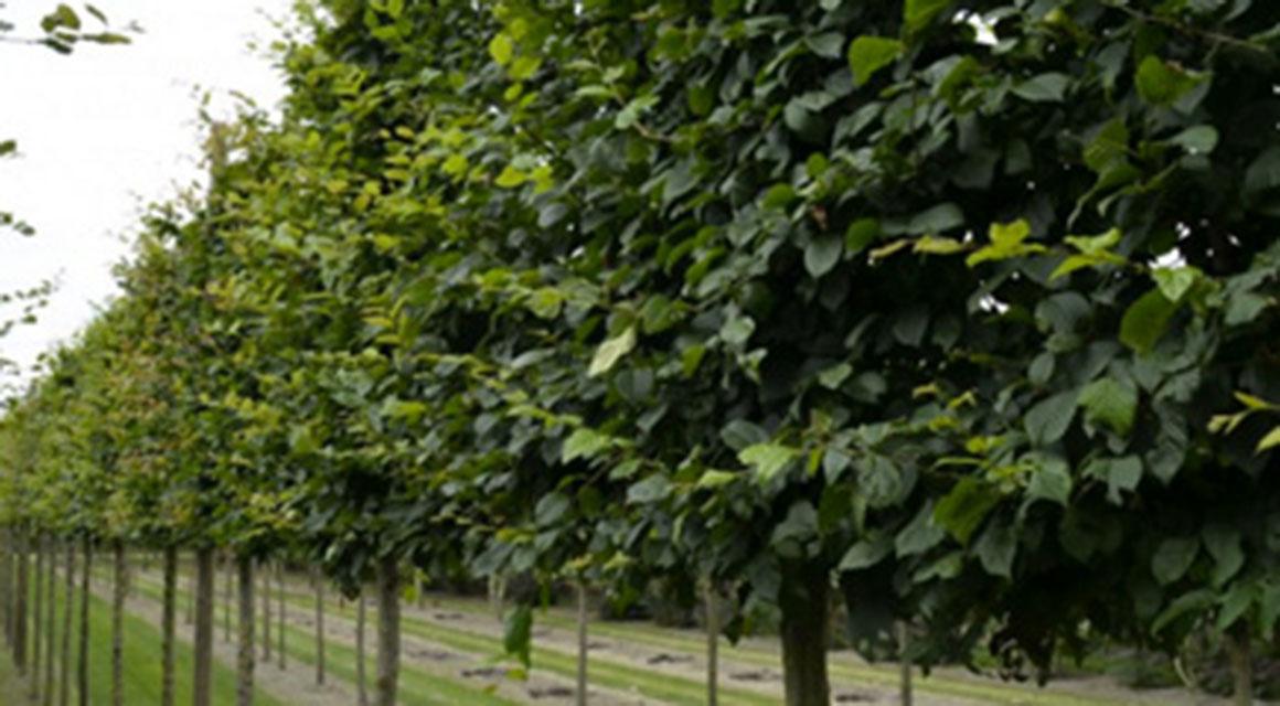 Carpinus betulus als leiboom online kopen