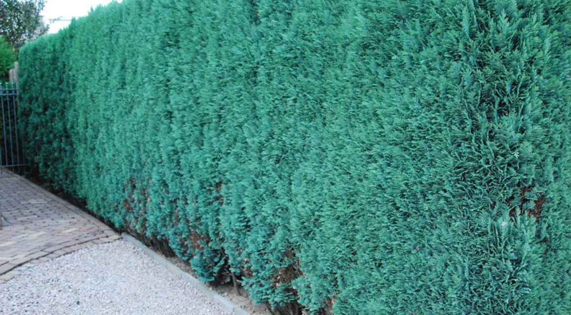Coniferen met een gemiddelde groeisnelheid