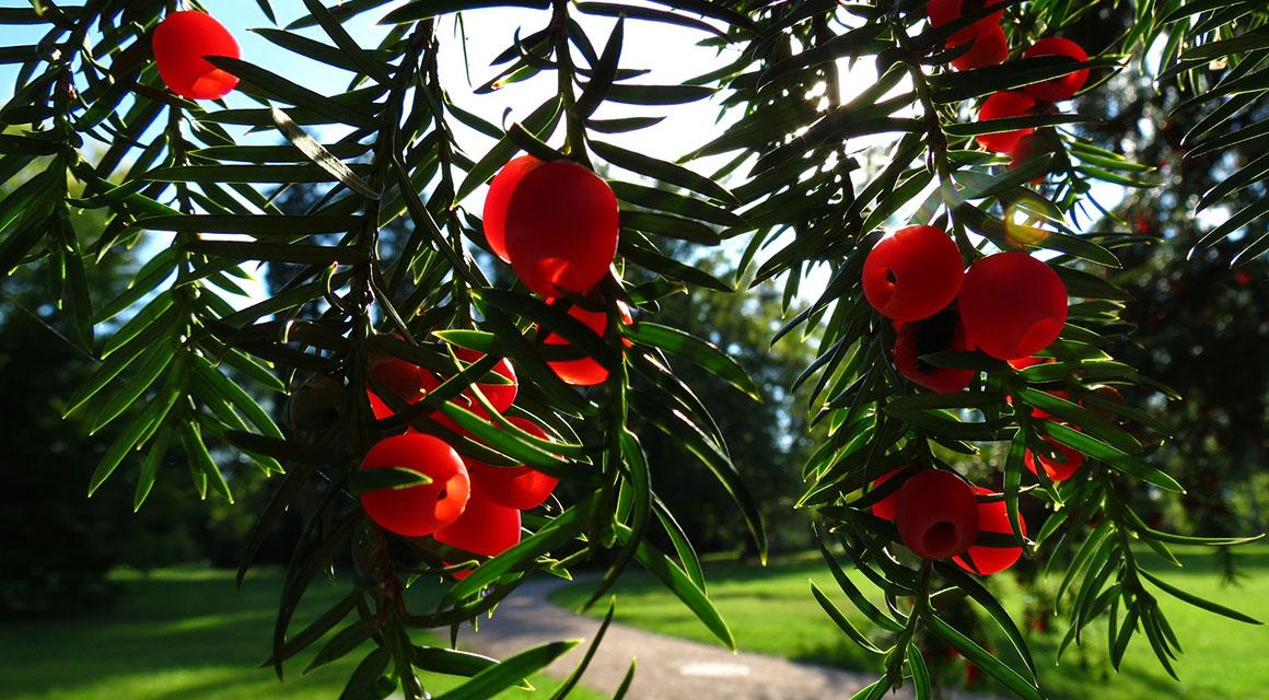 Welke coniferen zijn geschikt als buxusvervanger?