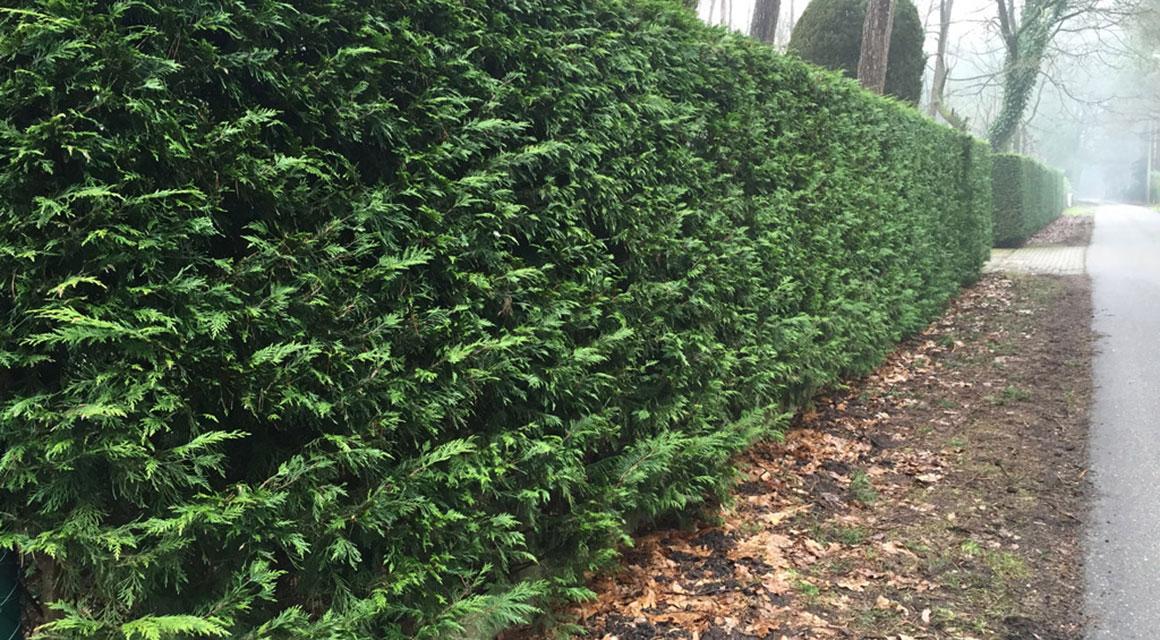 Coniferen zijn makkelijk in een haagvorm te snoeien