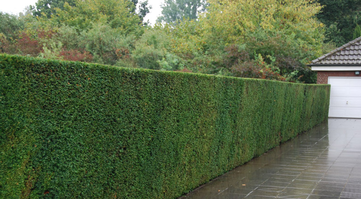 Coniferen verplanten: zo gaat u te werk
