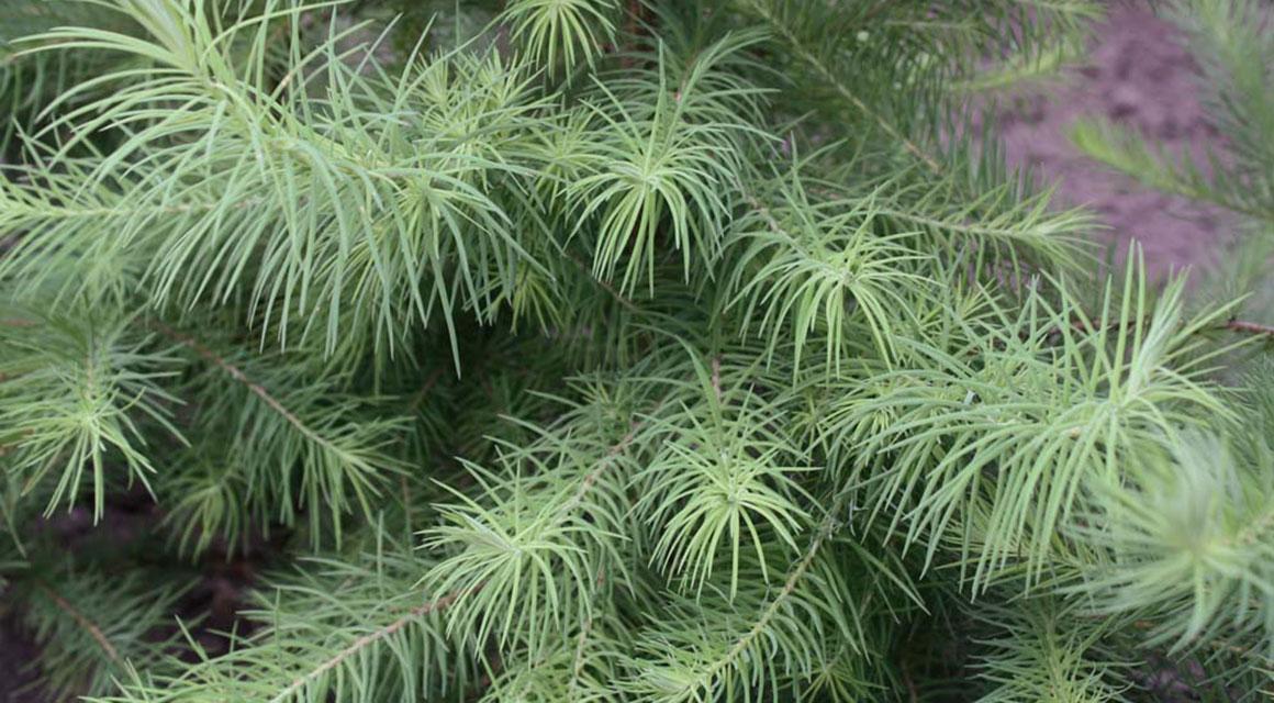 De perfecte coniferenhaag gevonden? Bestel hem online!